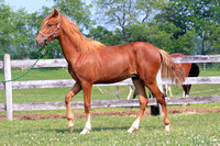 Tesoro as a Yearling gaiting in hand
