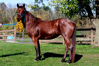 Red AQHA Mare